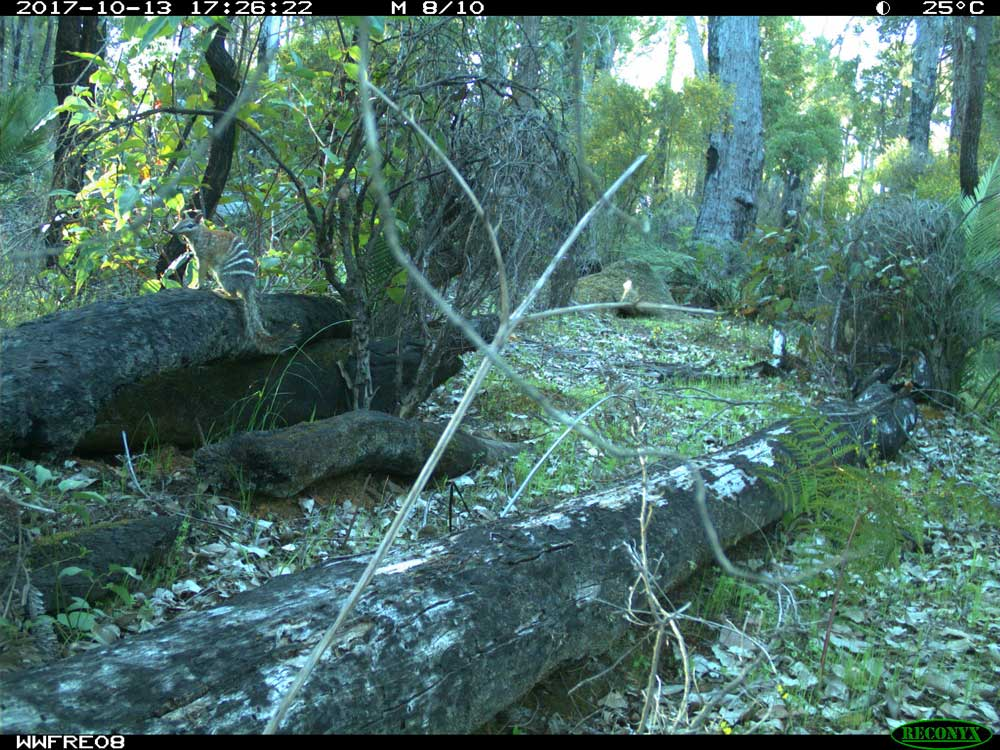 Numbat caught on sensor camera © Anke Seidlitz / DBCA / Murdoch University / WWF-Aus