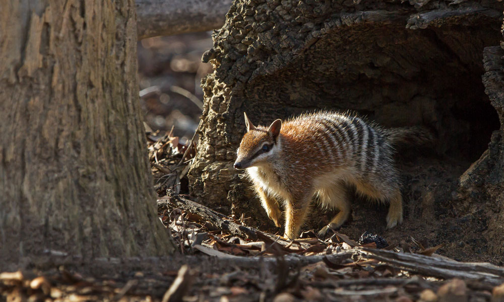 A numbat emerges to start the day in the Dryandra Woodlands, Western Australia © John Lawson / WWF-Australia
