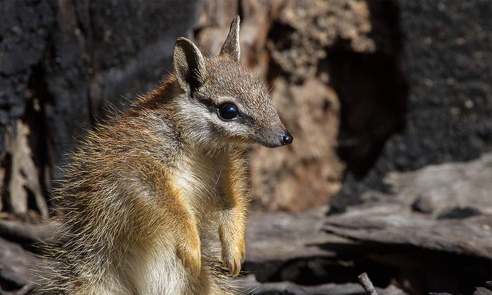 A juvenile numbat in the Dryandra Woodlands  © John Lawson / WWF-Aus