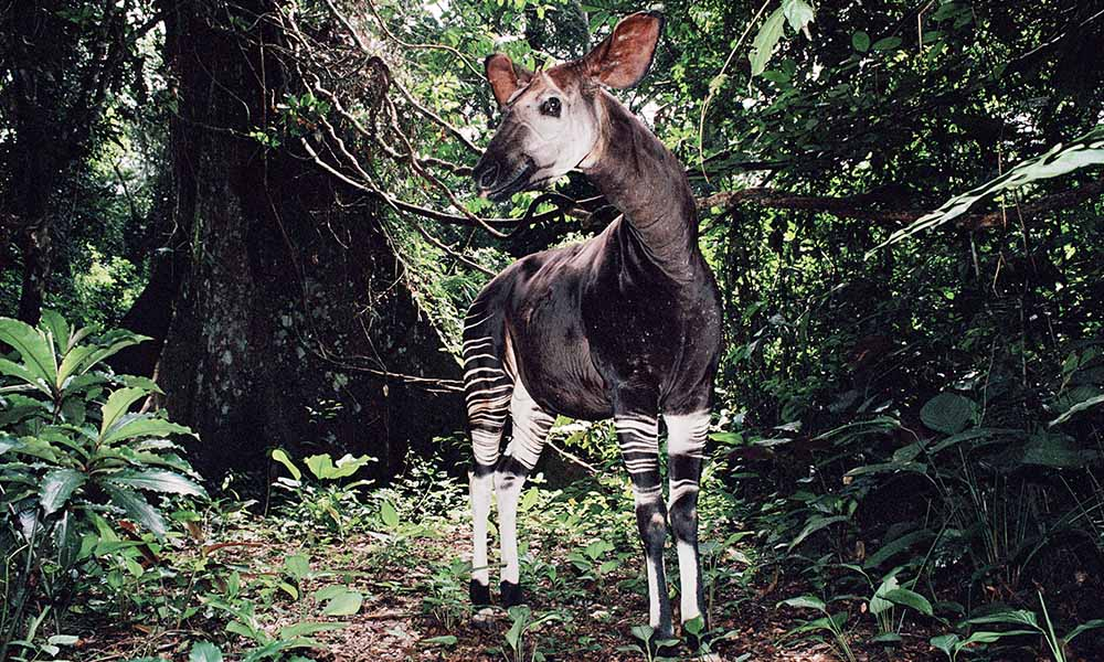Okapi, Democratic Republic of Congo © naturepl.com / Jabruson / WWF