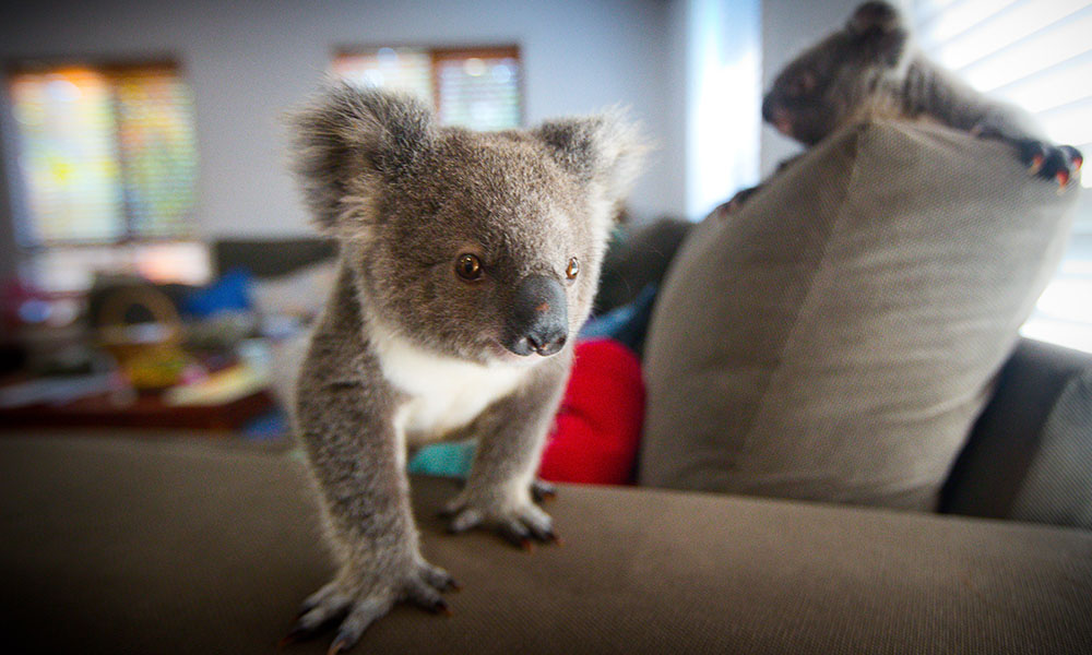 Orphan koala joeys playing on the couch, southeast Queensland, 2017 © WWF-Aus / Patrick Hamilton