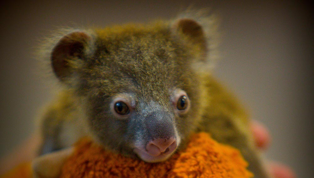 10 Interesting facts about koalas – WWF-Australia - WWF-Australia
