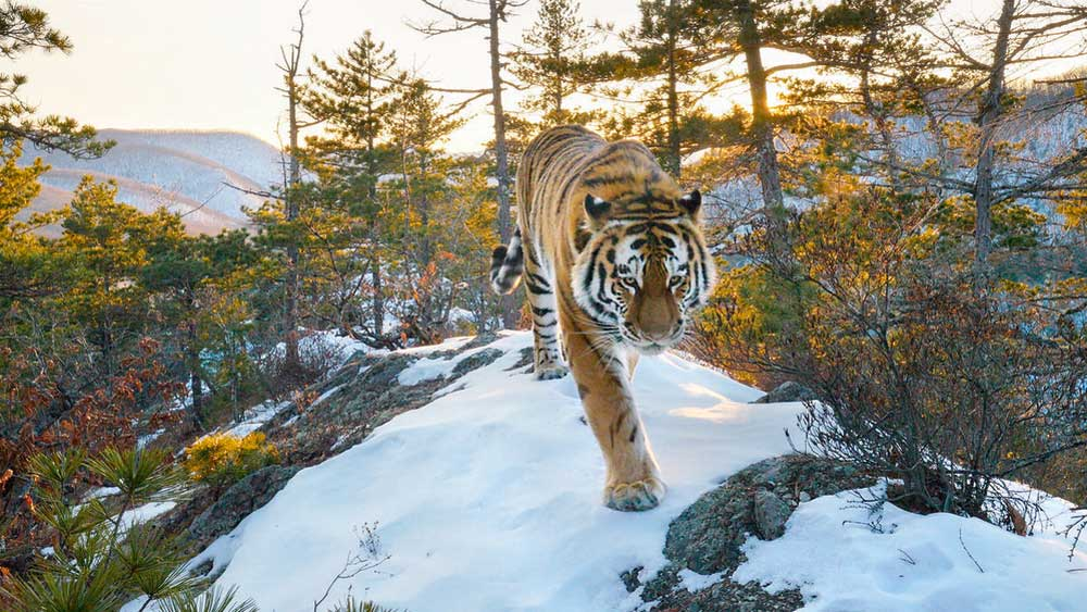Siberian Tiger caught on camera trap in the Boreal Forests of Russia\