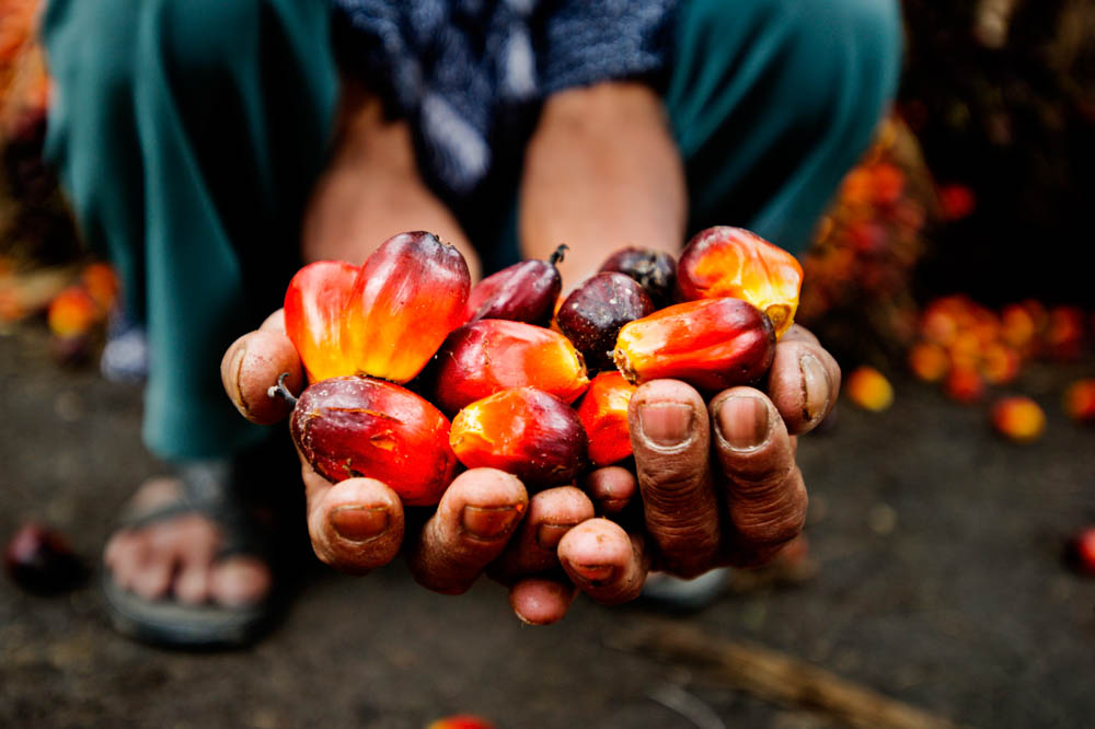 Farmer shows harvested palm fruit in Riau, Sumatra © James Morgan / WWF-International