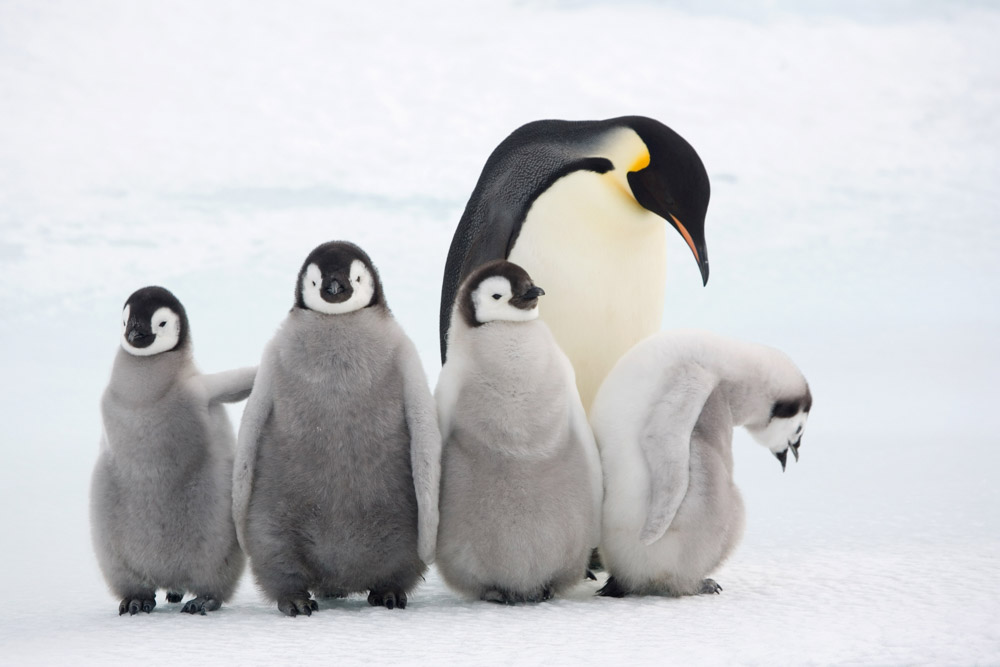 Four Emperor penguin (Aptenodytes forsteri) chicks with an adult at Snow Hill Island colony. Antarctica © naturepl.com / Bryan and Cherry Alexander / WWF