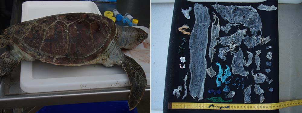 Plastic bag removed from dead turtle © Dr Kathy Townsend