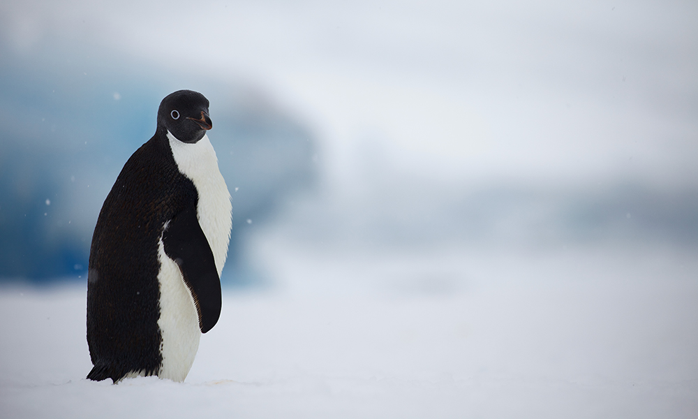 Portrait of Adelie penguin (Pygoscelis adeliae), Antarctic Peninsula, January 2018 © WWF-Aus / Chris Johnson