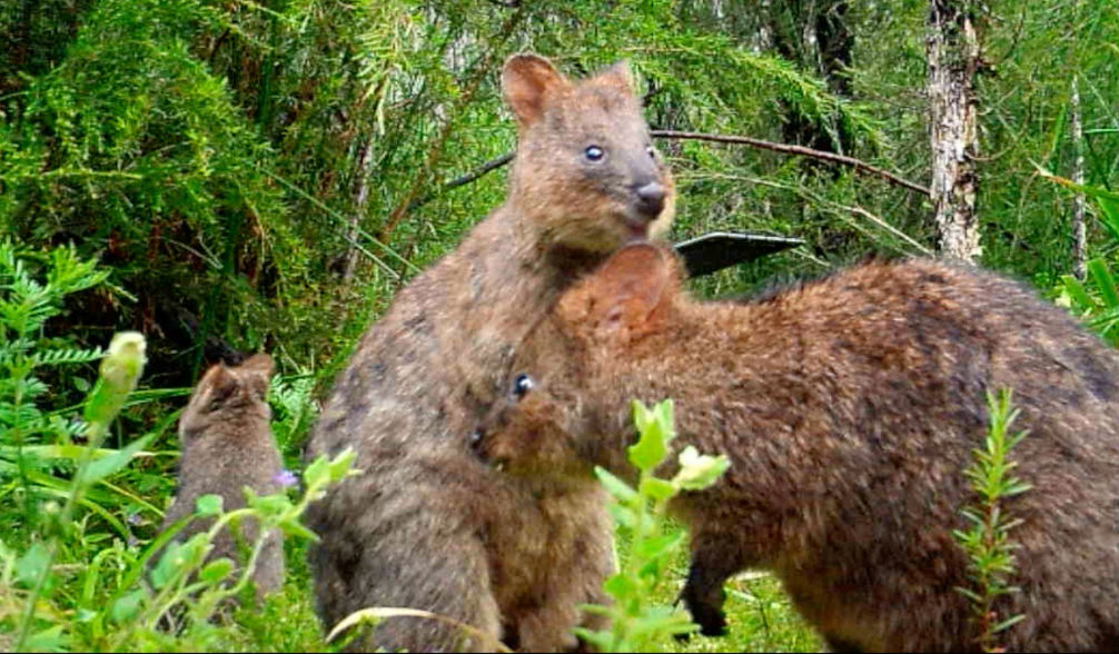 A young quokka joey discovered on sensor camera footage © WWF-Aus