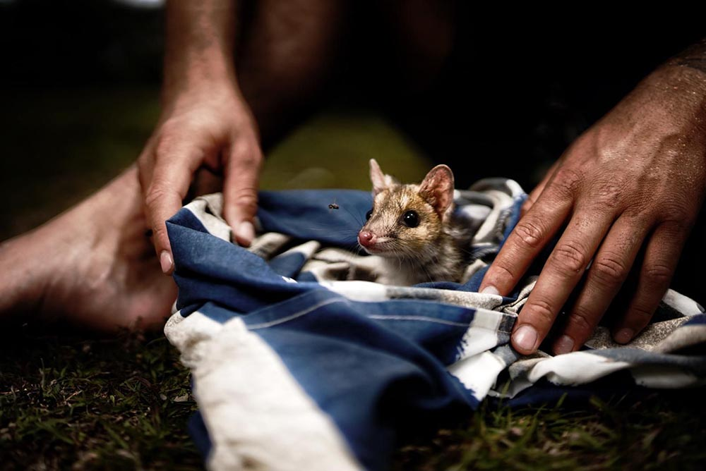 Quoll and aboriginal ranger © Adrian Steirn