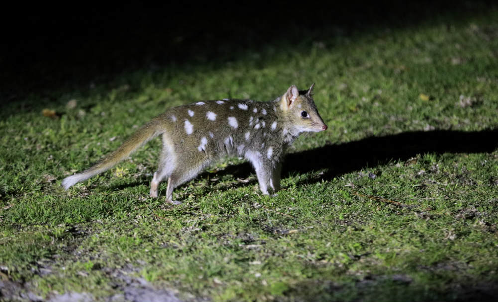Eastern quoll juvenile, Booderee, October 2018 © Maree Clout / WWF-Australia