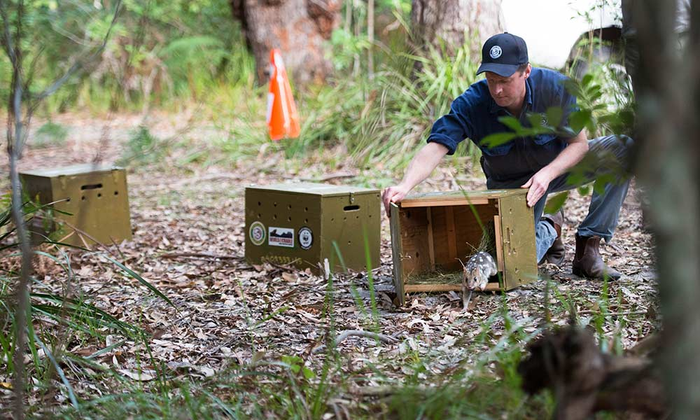 Eastern quoll being released into Booderee National Park © WWF-Aus / Morgan Cardiff