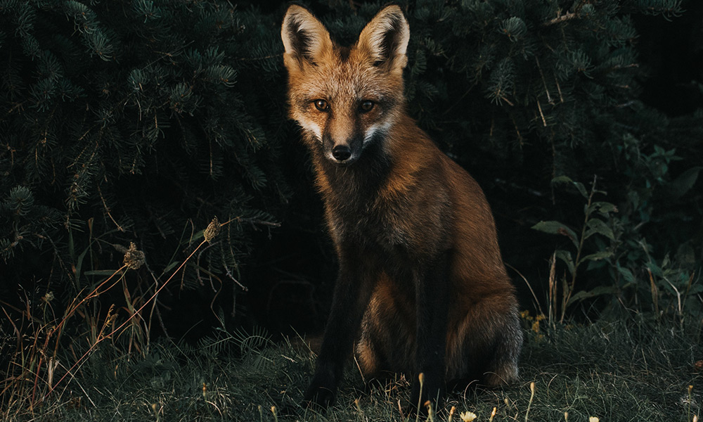 Red fox, Cavendish Beach, New Glasgow, Canada by Jeremy Vessey / Unsplash