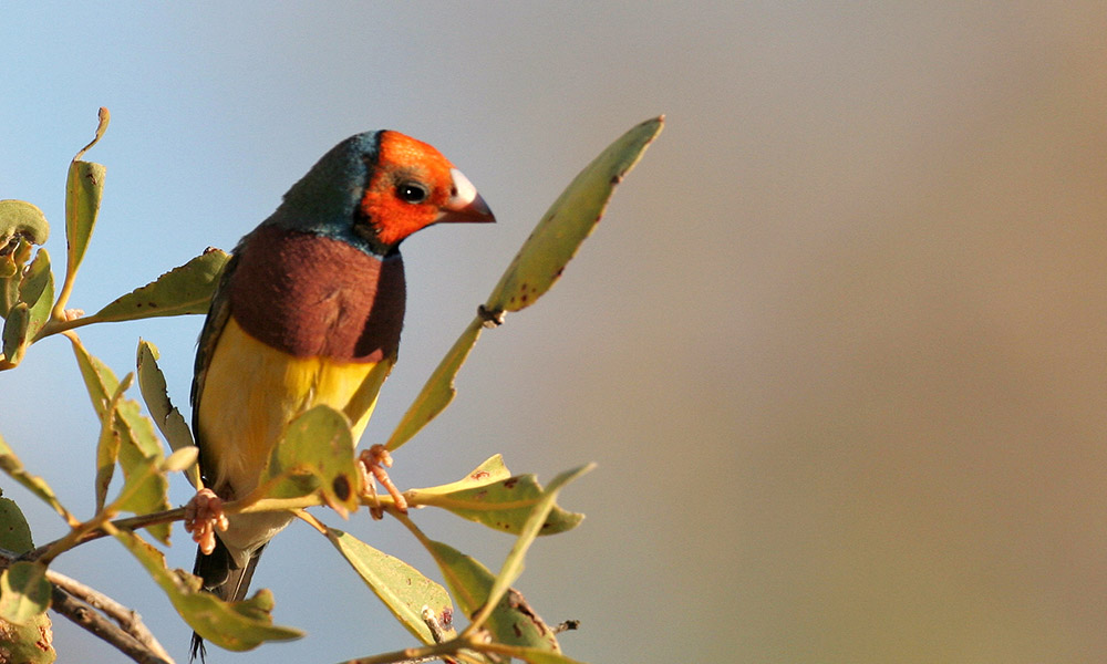 Red headed Gouldian finch on a twig © Mike Fidler