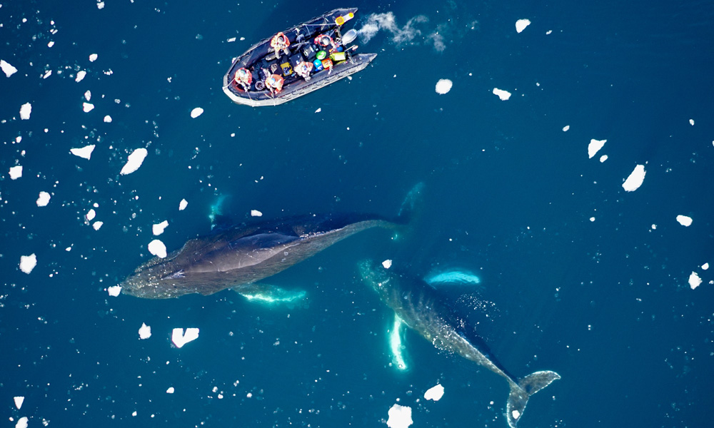 Scientists deploying satellites on humpback whales in the Antarctic Peninsula © Duke University Marine Robotics and Remote Sensing Lab
