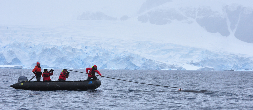 Researchers attaching a 'whale cam' to an Antarctic minke whale (Balaenoptera bonaerensis), Antarctic Peninsula. Supplied by Tristian Ray-Wilks / OneOcean Expeditions