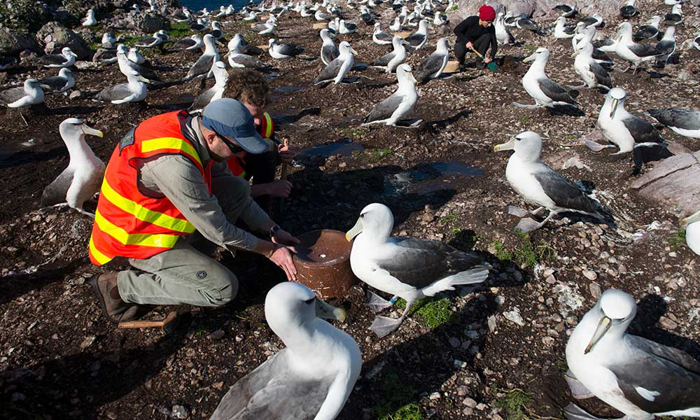 Researcher installs an artificial nest, Albatross Island, Tasmania © Matthew Newton / WWF-Aus