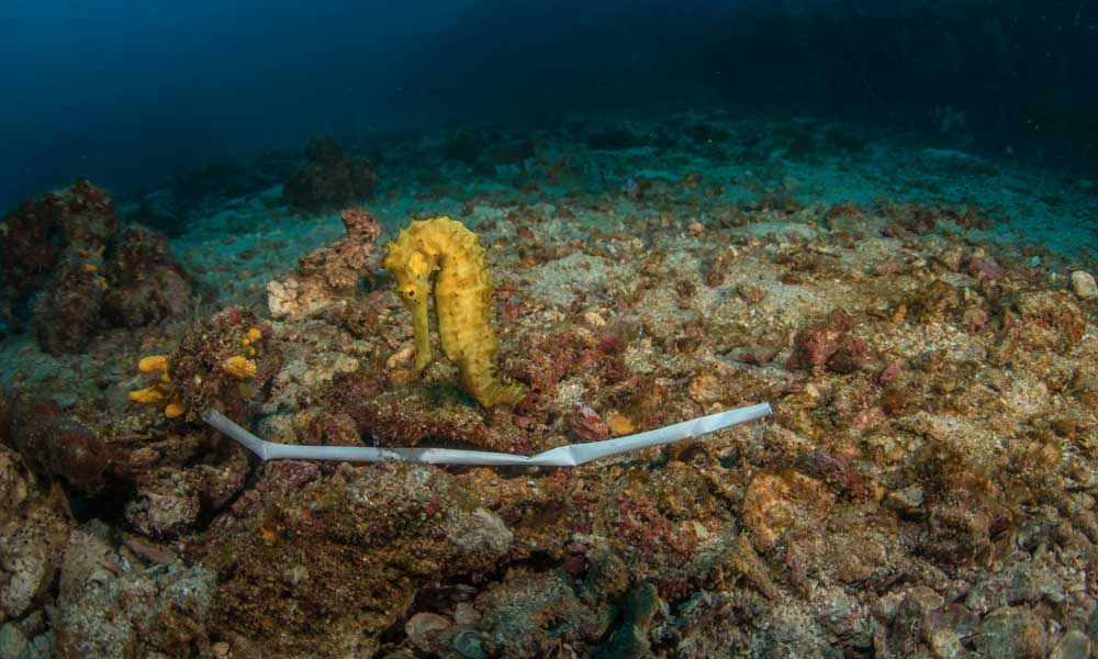 Thorny seahorse and a plastic straw in the ocean © Shutterstock / Krzysztof Bargiel / WWF