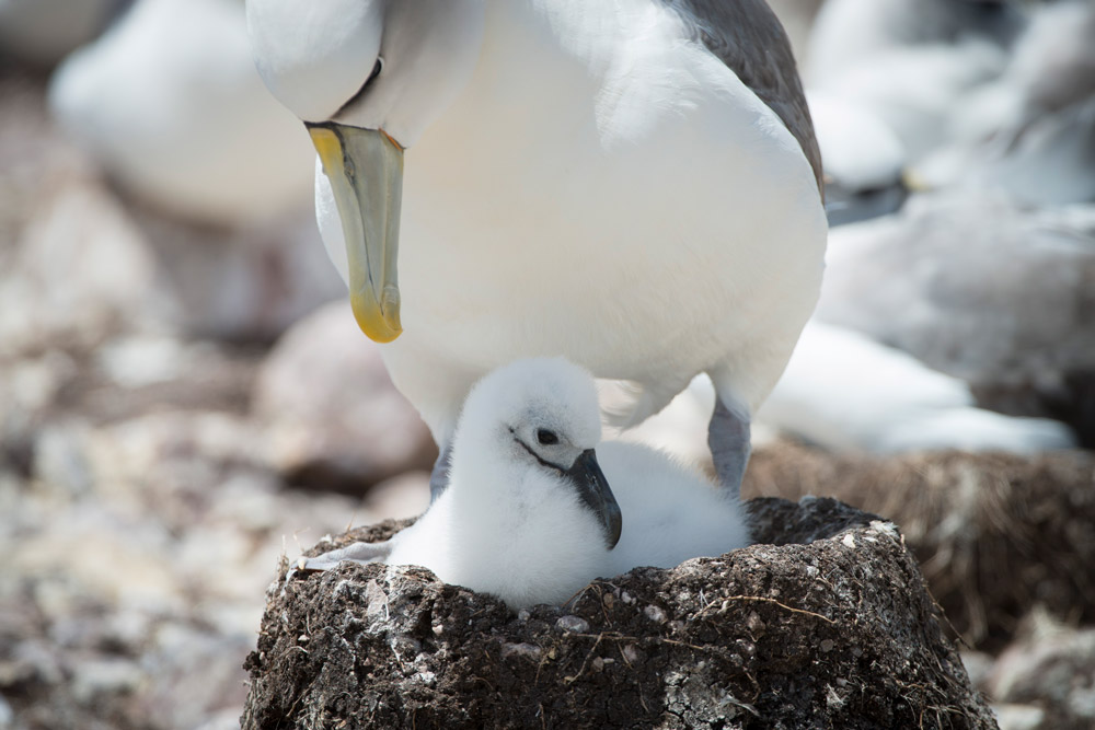 Shy albatross chick sitting in an artificial nest with parent © Matthew Newton / WWF-Aus