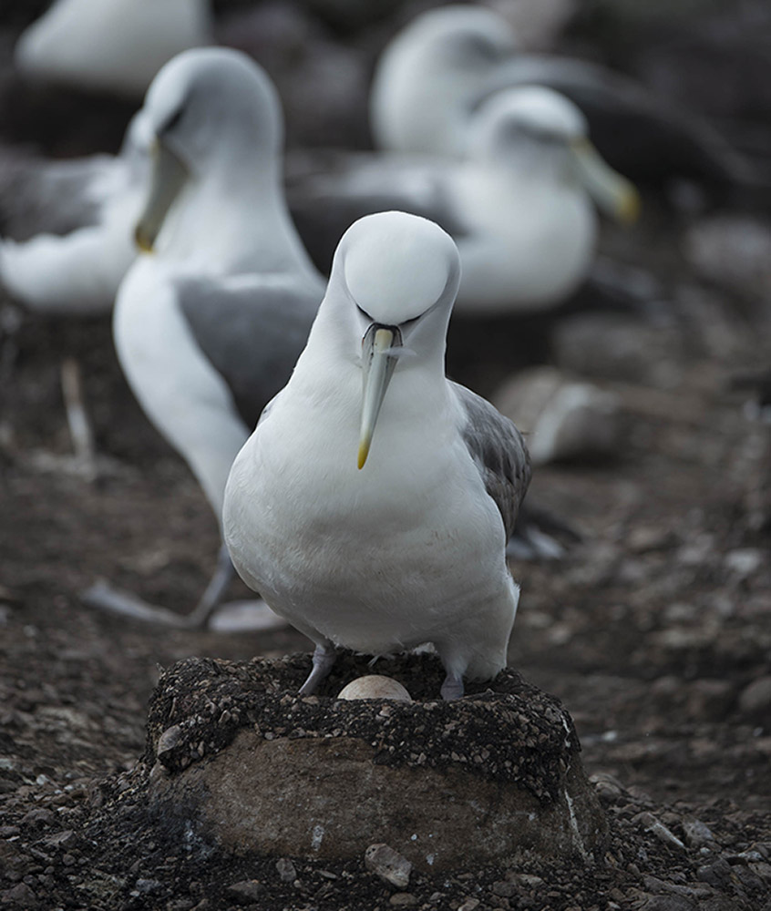 A shy albatross sitting on its egg, Albatross Island, Tasmania © Matthew Newton / WWF-Aus