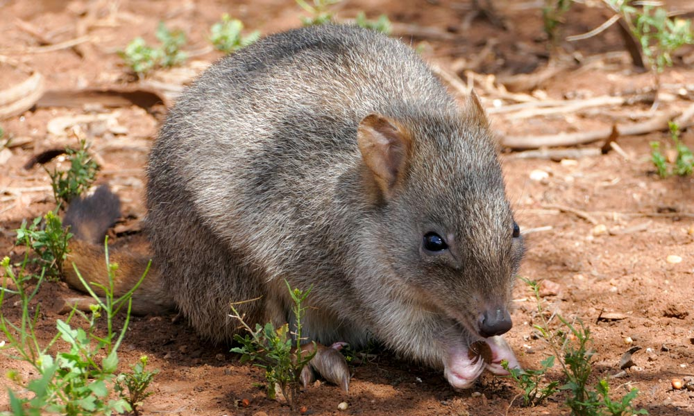 A woylie or brush-tailed bettong at Monarto Zoo © Zoos South Australia