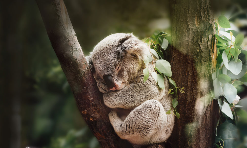 Sleeping koala in tree © Jordan Whitt