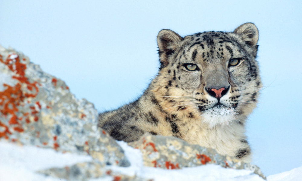 Snow leopard on rocky mountains © Klein & Hubert / WWF