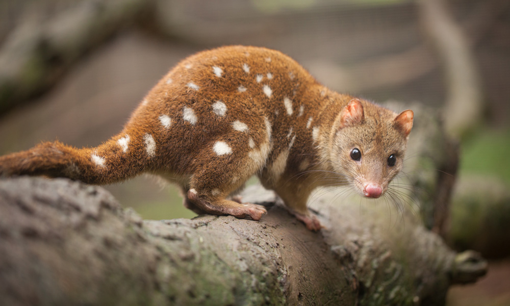 Spotted-tailed quoll also known as a tiger quoll on a log © Craig - stock.adobe.com