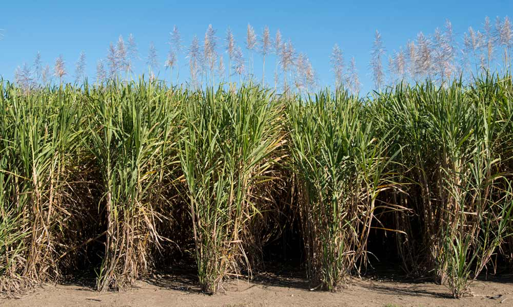Sugar cane fields, North Queensland © Kerry Trapnell / WWF-Aus