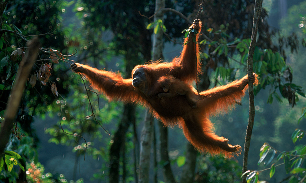 Sumatran orangutan female 'Suma' swinging through the trees with male baby 'Forester' (Pongo abelii) Gunung Leuser NP, Sumatra, Indonesia © naturepl.com / Anup Shah / WWF