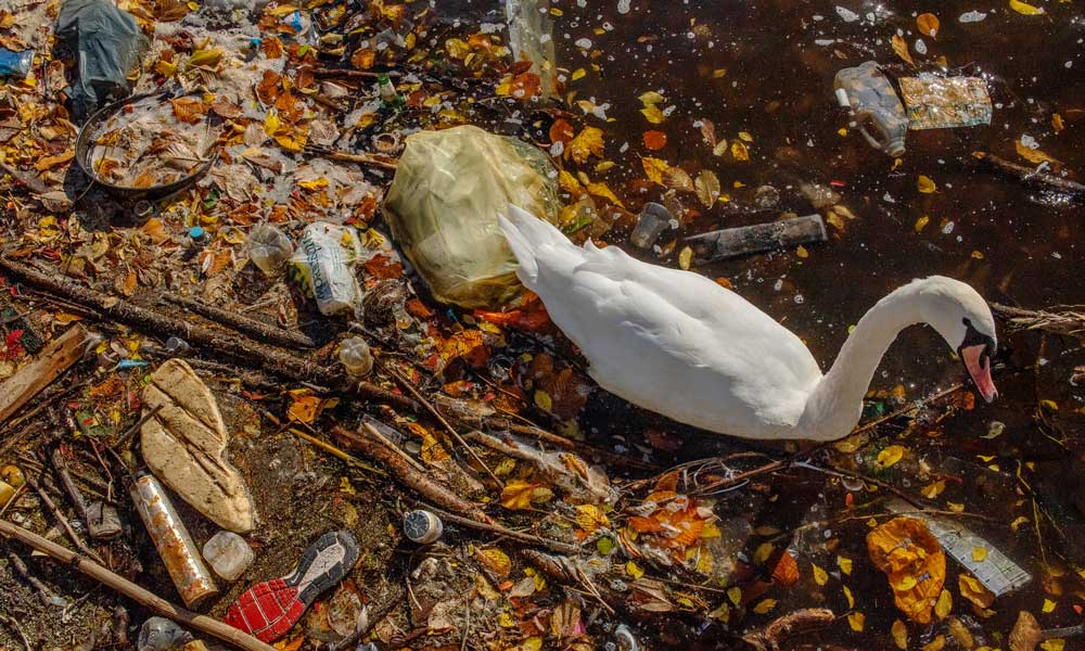 A mute swan paddles through plastic pollution in The River Thame in Greater Manchester © Sam Hobson / WWF-UK