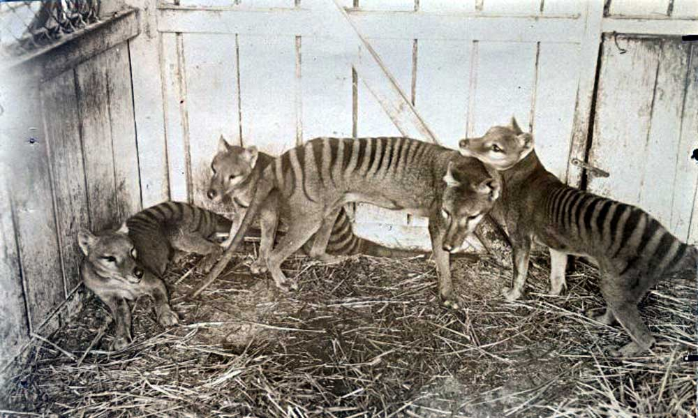 Thylacine family at Beaumaris Zoo in Hobart, 1910 / Public Domain