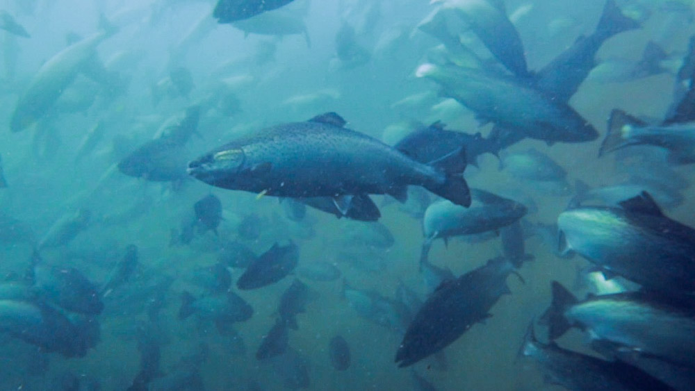 Salmon farming, Tasmania © Bluebottle Films / WWF-Aus