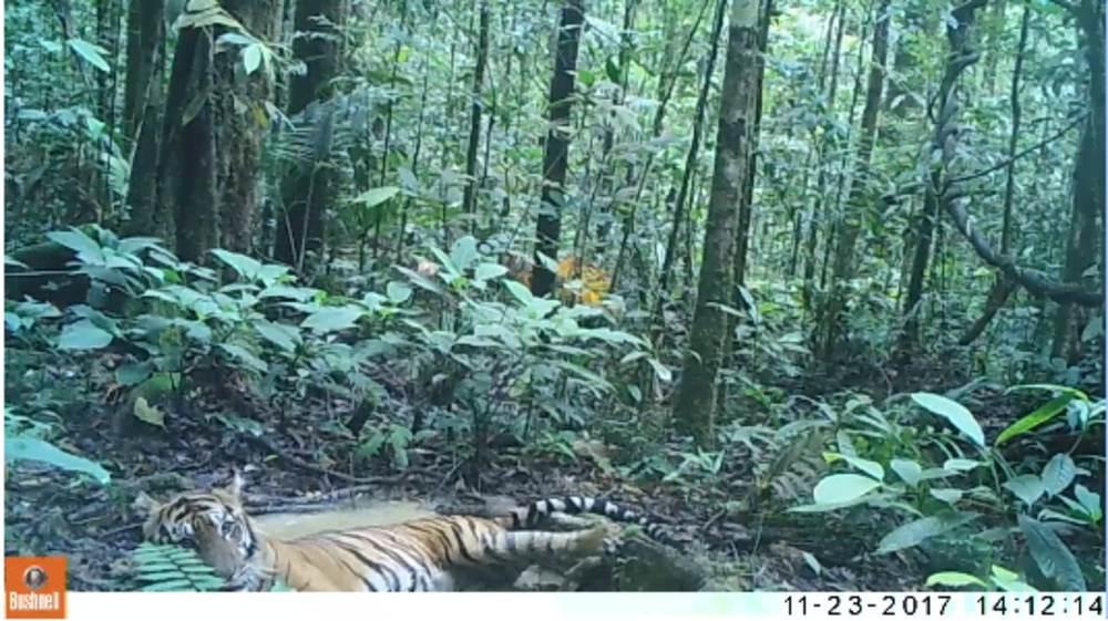 Tiger caught on a camera trap having a bath in Aceh © Northern Sumatera Program / WWF-Indonesia