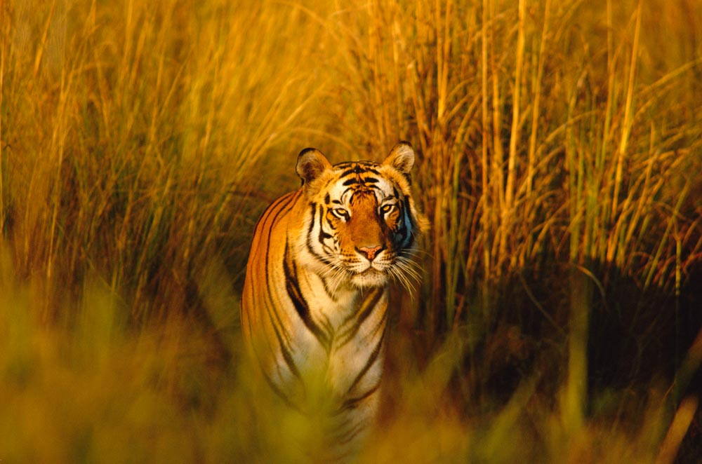 A tiger walks through long grass © naturepl.com / Francois Savigny / WWF