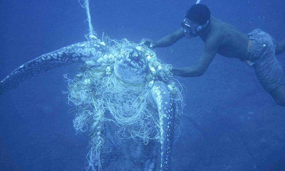 Unsuccefull attempt by a diver to rescue a Leatherback turtle (Dermochelys coriacea) caught in a net © Michel Gunther / WWF