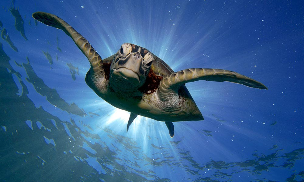 A green turtle (Chelonia mydas) swimming in the Great Barrier Reef, Queensland © Troy Mayne