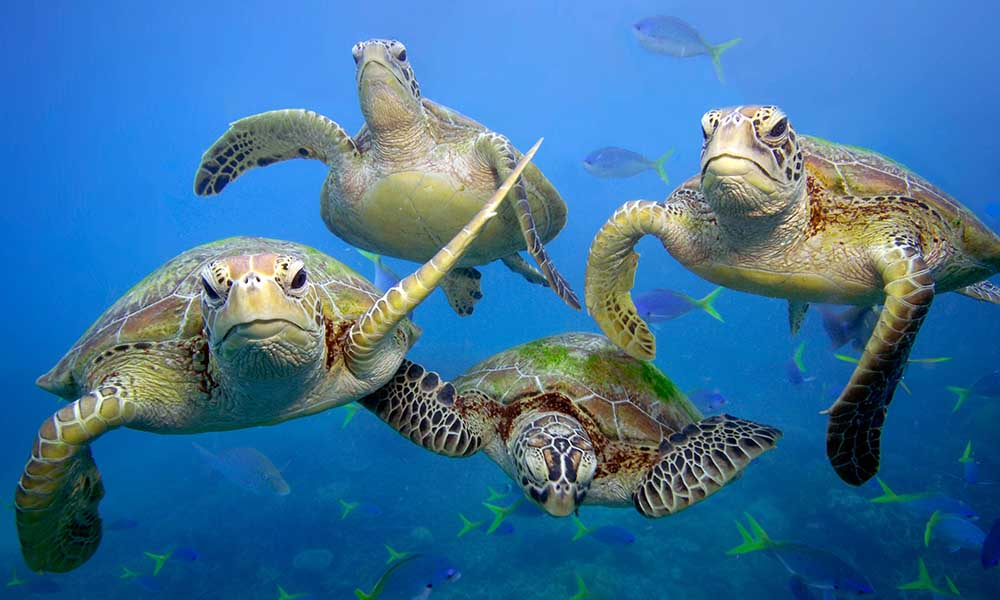 Four green turtles swimming in the Great Barrier Reef © Troy Mayne