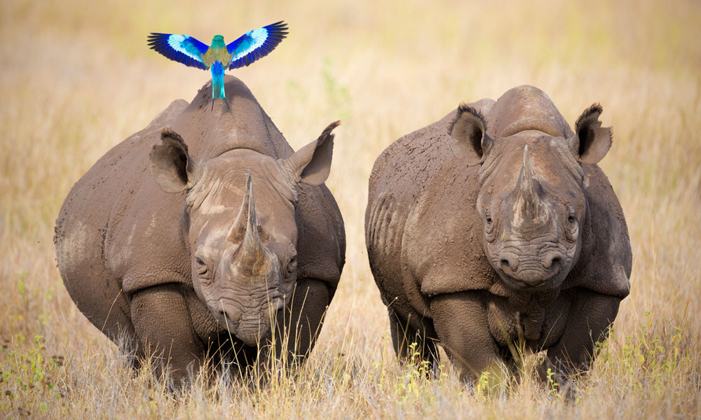 Two black rhinoceros and lilac-breasted roller © Martin Harvey / WWF