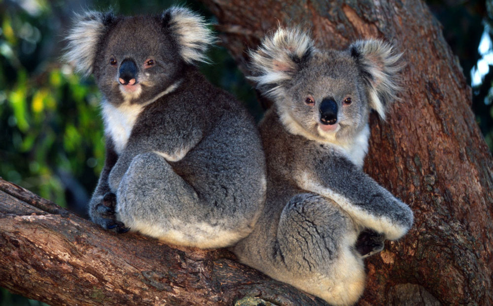 Koalas in eucalyptus tree © Martin Harvey / WWF