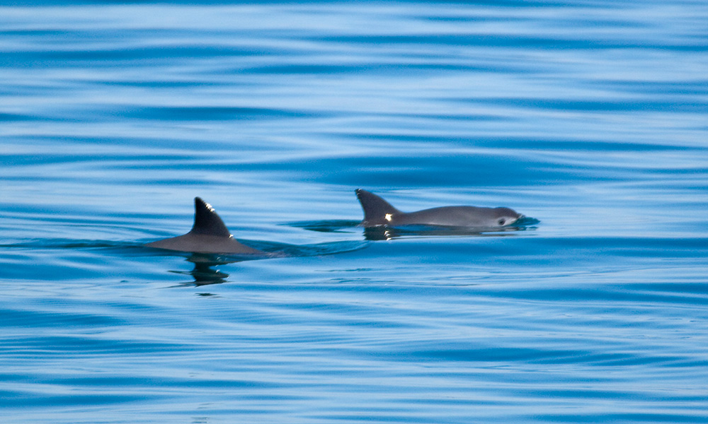 Two vaquita in the upper Gulf of California, Mexico © Chris Johnson