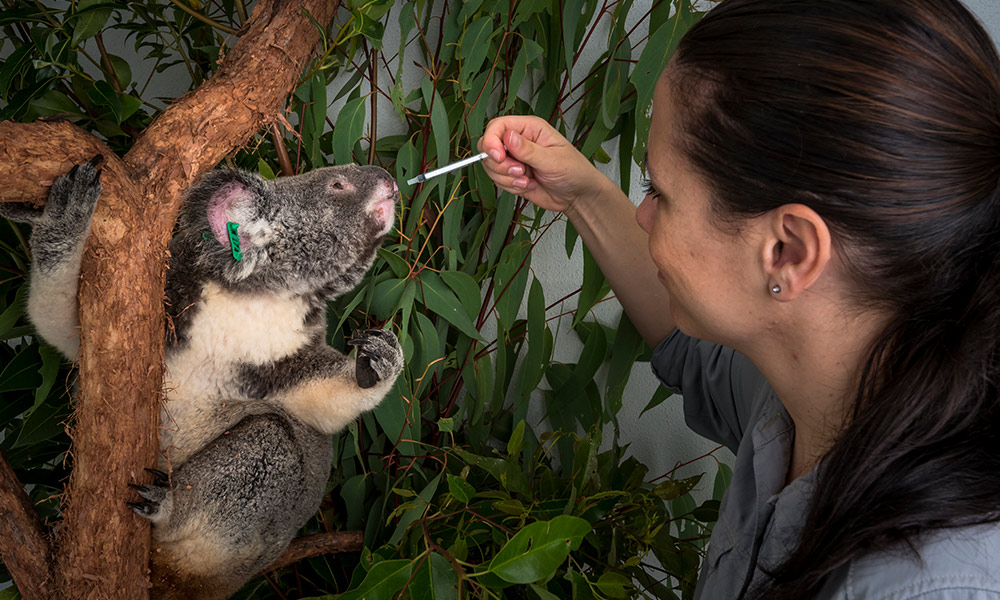 Jo Loader, Wildlife Veterinarian giving treatment to female koala (Phascolarctos cinereus) in recovery at Endevaour Vet Ecology. Toorbul © Doug Gimesy / WWF-Aus