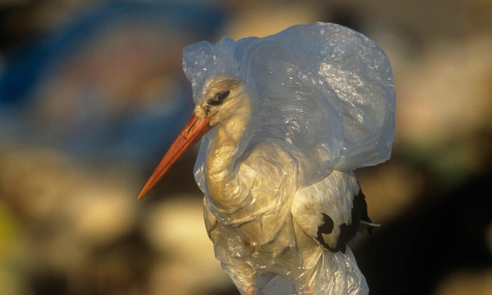 White stork (Ciconia ciconia) caught in plastic rubbish at refuse dump, Spain © naturepl.com / John Cancalosi / WWF