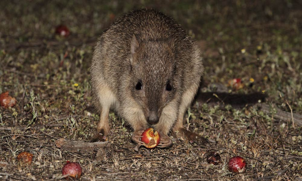 A woylie or brush-tailed bettong (Bettongia penicillata) eating a quandong in the Dryandra Woodlands, Western Australia © John Lawson / WWF-Aus