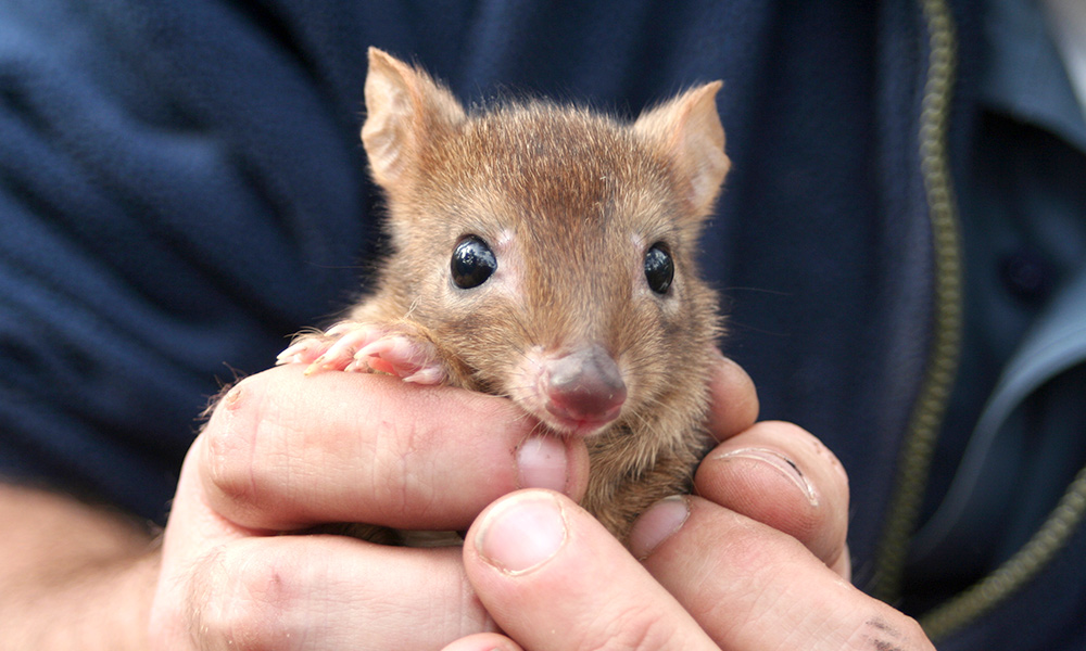 Woylie (brush-tailed bettong, Bettongia ogilbyi) in hands. Upper Warren, Western Australia © Sabrina Trocini / WWF-Aus