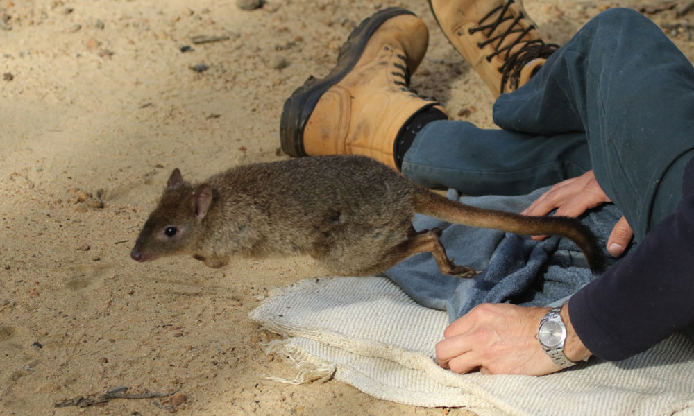 A woylie or brush-tailed bettong (Bettongia penicillata) is released in Perup, Western Australia © WWF-Aus / Alexander Watson