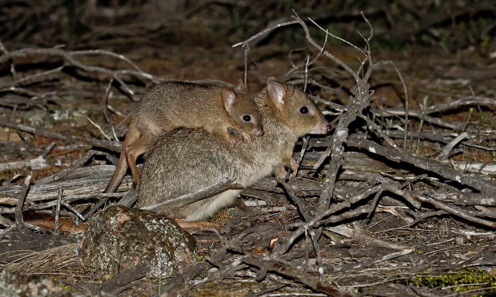 A woylie or brush-tailed bettong (Bettongia penicillata) with its young in the Dryandra Woodlands, Western Australia © John Lawson / WWF-Aus
