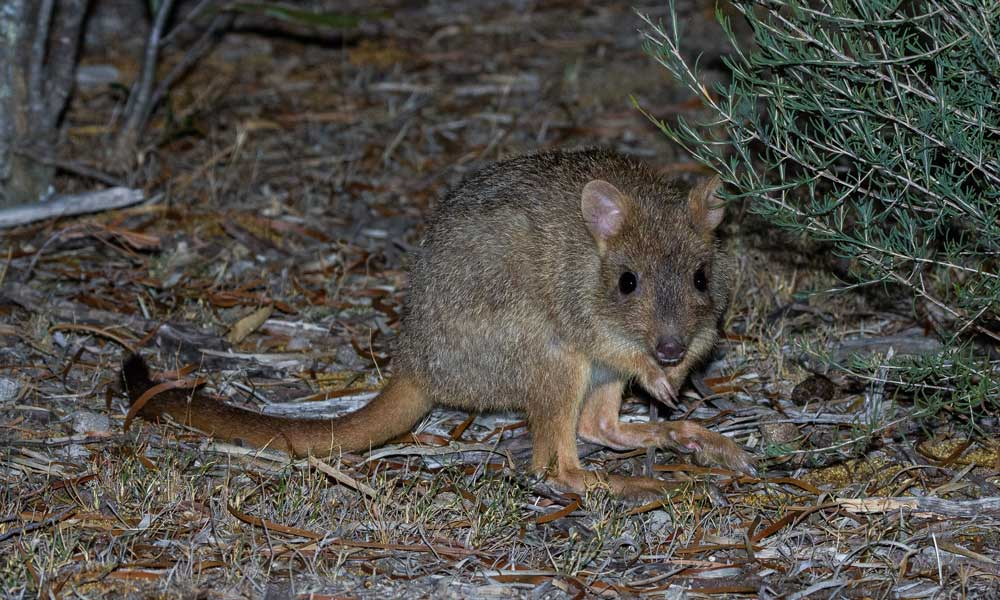 A woylie or brush-tailed bettong (Bettongia penicillata) in the Dryandra Woodlands, Western Australia © John Lawson / WWF-Aus