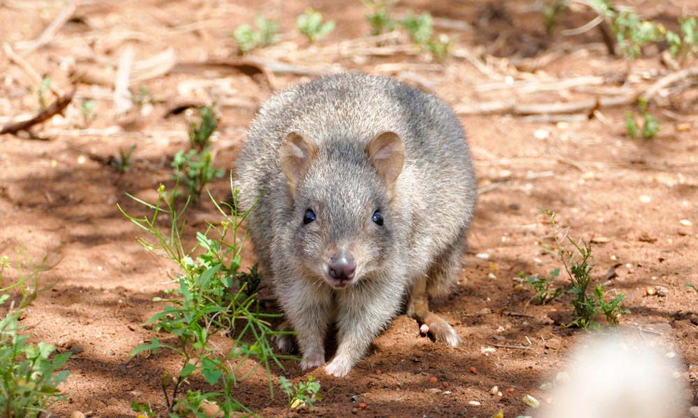 A woylie or brush-tailed bettong at Monarto Zoo, South Australia © Zoos South Australia