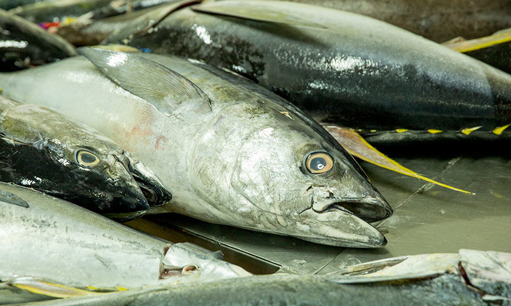 MSC certified yellowfin tuna processed at SeaQuest processing plant. Walu Bay, Suva, Fiji © WWF-Aus / Shiri Ram
