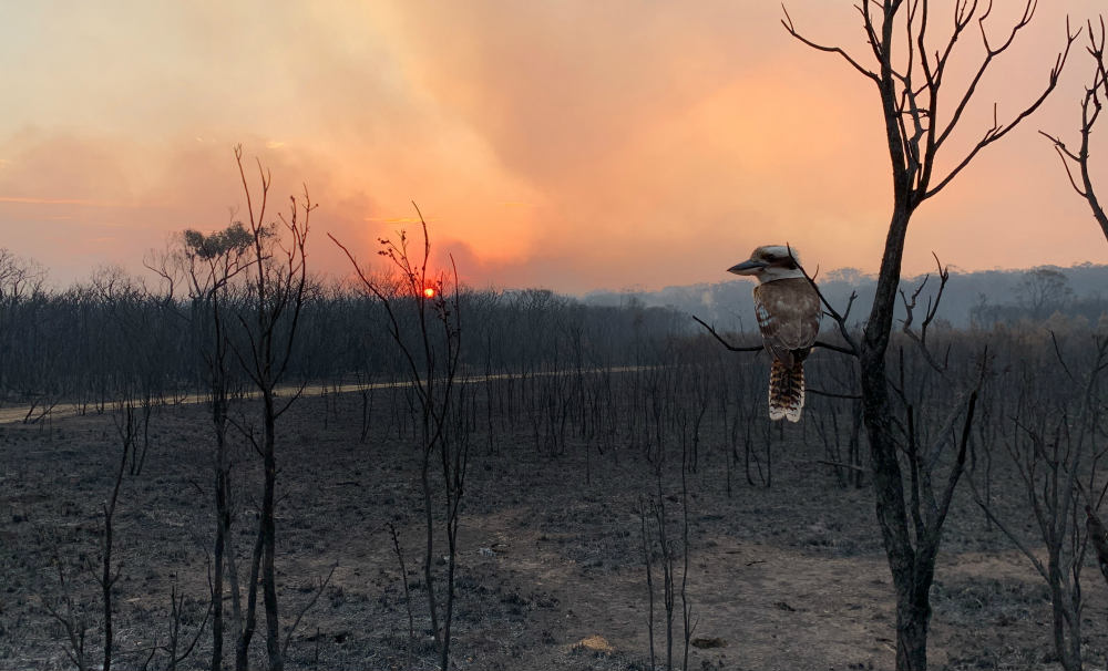 Kookaburra after a bushfire, Wallabi Point, NSW © Adam Stevenson